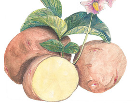 Rose Gold Seed Potato, 1 lb