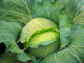 Premium Late Flat Dutch Cabbage, 2 g