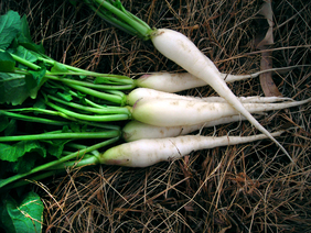 White Icicle (Lady Finger) Radish, bulk size: 28 g