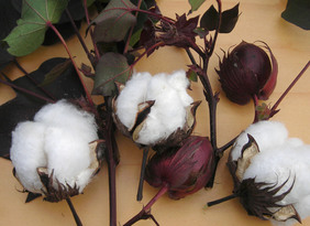 Red Foliated White Cotton, 16-20 seeds