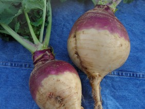 American Purple Top Yellow Rutabaga, 2 g