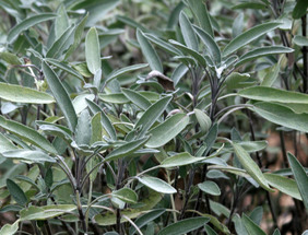Sage, Common, bulk size: 7 g