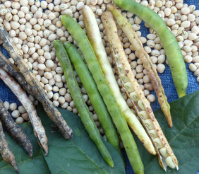 Yellow Ripper Southern Pea (Cowpea), 28 g