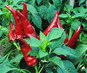 Hungarian Paprika Spice Pepper, 0.3 g