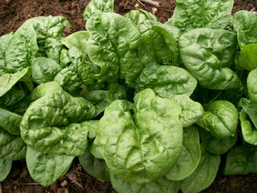 Long Standing Bloomsdale Spinach 5 g