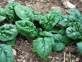 Winter Bloomsdale Spinach, 5 g