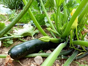 Black Beauty Zucchini, 4 g