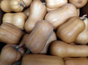 South Anna Butternut Winter Squash, bulk size: 14 g