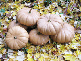 Tan Cheese Pumpkin, bulk size: 28 g