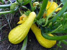 Yellow Crookneck Summer Squash, bulk size: 28 g
