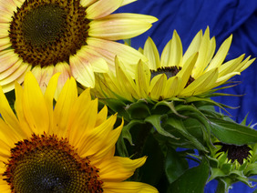 Autumn Beauty Sunflower, bulk size: 28 g