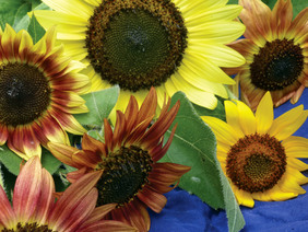 Color Fashion Mix Sunflower, 2 g