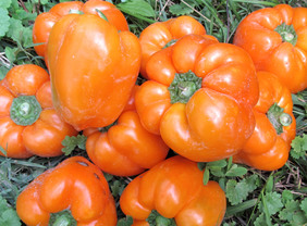 Kevin\'s Early Orange Sweet Bell Pepper, 0.3 g