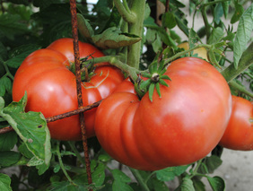 Granny Cantrell\'s German Red/ Pink Tomato, bulk size: 1.5 g