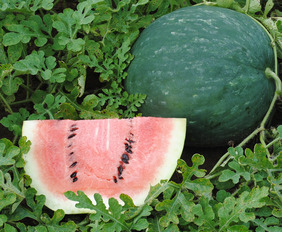 Scaly Bark Watermelon, 3 g