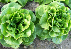 Winter Density Buttercos Lettuce, bulk size: 7 g