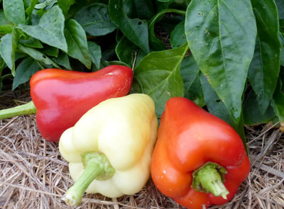 Early Hungarian Sweet ('TH 122') Sweet Bell Pepper 0.3 g