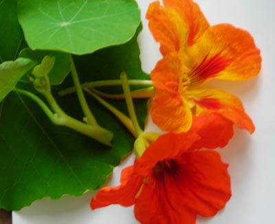 Nasturtium, Jewel Mixed Colors FLOWER 4 g