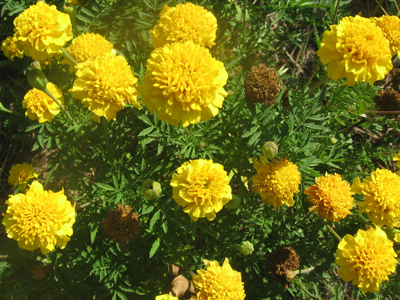 French Marigold, Lemon Drop FLOWER 0.5 g