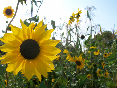 Beach Sunflower (Cucumber-Leaf) Sunflower 1 g