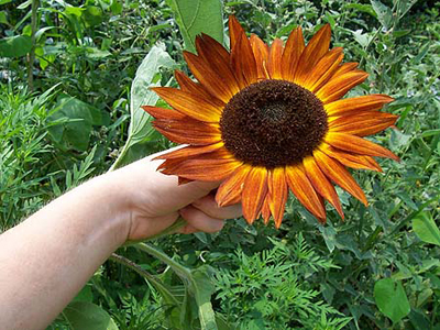 Evening Sun SUNFLOWER, ORNAMENTAL 2 g