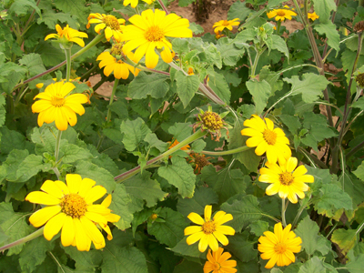 Tithonia, Yellow Torch (Mexican Sunflower) 0.4 g