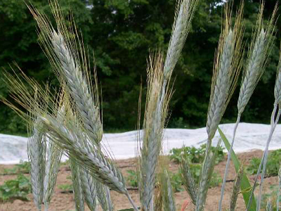 Ornamental Wheat: Silver Tip ORNAMENTAL WHEAT 5 g