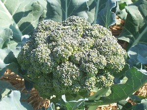 Green Goliath Broccoli 28 g