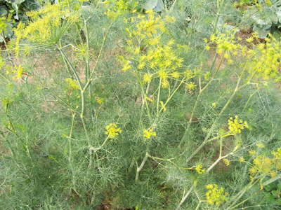 Dill, Bouquet HERB / NATIVE PLANT 0.75 g