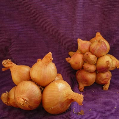 Yellow Potato Onion (Hill, Mother, or Pregnant Onion) 8 oz.