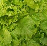 Simpson Elite Looseleaf Lettuce, 0.5 g