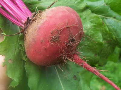 Lutz Green Leaf (Winter Keeper) Beet 5 g