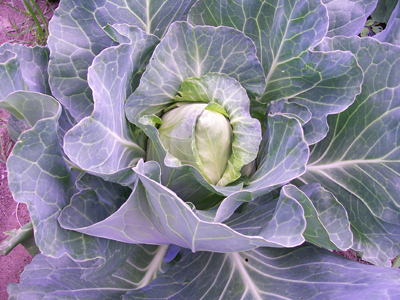 Early Jersey Wakefield Cabbage 2 g