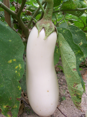White Beauty Eggplant 3 g