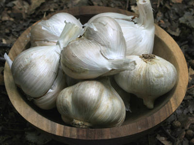 Elephant Garlic 16 oz.