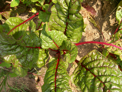 Ruby Red (Rhubarb Chard) CHARD, SWISS 28 g