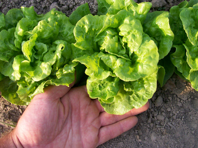 Tom Thumb Bibb (Butterhead) Lettuce 0.5 g