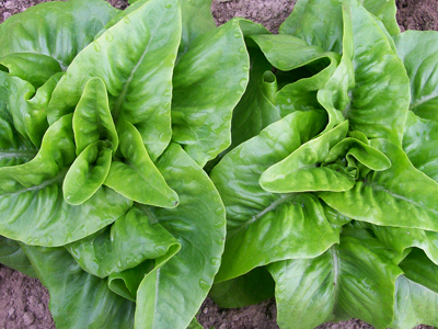 Deer Tongue (Matchless) Looseleaf Lettuce 0.5 g