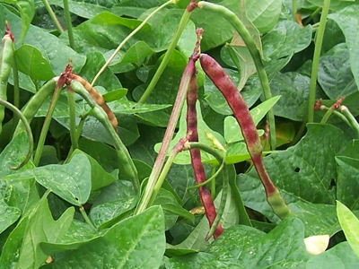 Big Red Ripper (Mandy) Southern Pea (Cowpea) 28 g