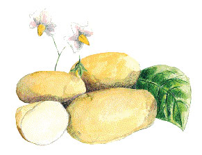 Carola, 1 lb SEED POTATO