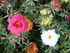 Portulaca, Old Fashioned Moss Rose 0.05 g