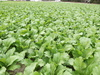 Carolina Broadleaf Mustard 2 g