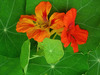 Nasturtium, Jewel Mixed Colors, bulk size: 28 g
