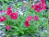 Phlox, Red Drummond, 0.3 g