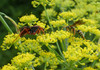 Wild Garden Perennial Insectary Mix