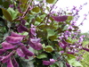 Purple Hyacinth Bean (ornamental), 8 g