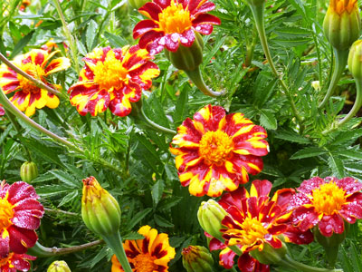 French Marigold, Red Metamorph 0.5 g