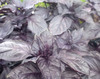 Red Rubin Basil, 0.12 g