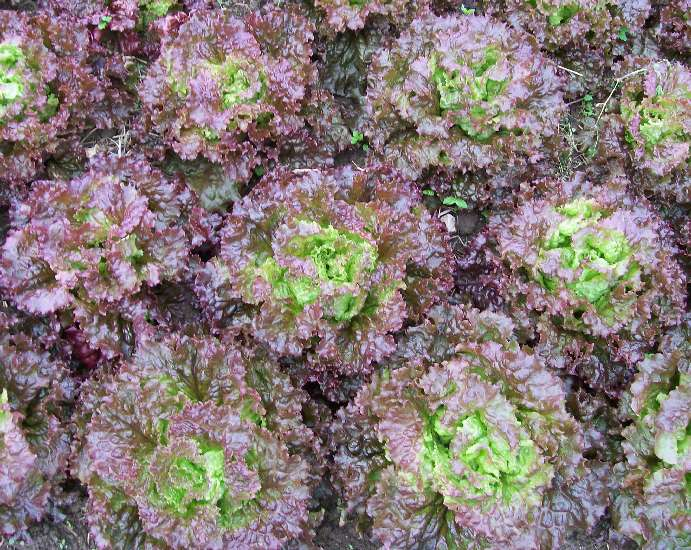 Red Salad Bowl Looseleaf Lettuce 0.5 g