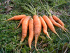 Scarlet Nantes (Coreless, Nantes Half Long) Carrots, 3 g